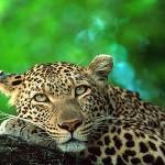 Kruger leopard