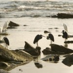 Medjumbe birdlie - Egrets preening during sunrise